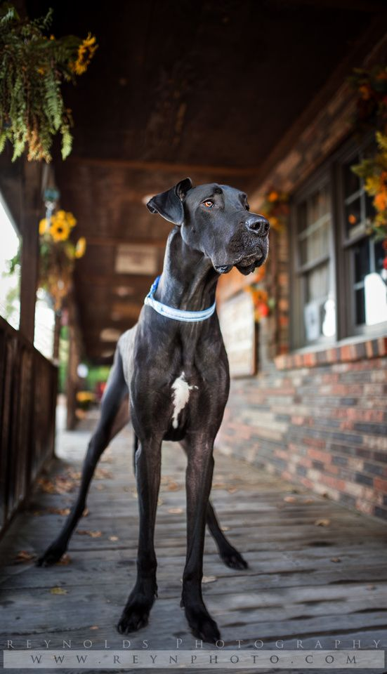 Dog - Great Dane - Rescue - Black Dogs - Photography