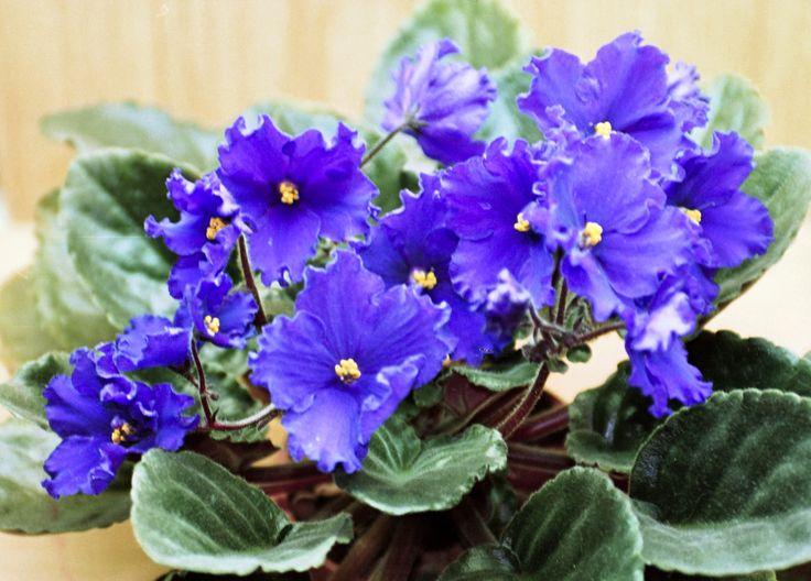 Saintpaulia / Usambarafiol  (Saintpaulia ionantha-hybrider) hører til i Fagerblomfamilien / Gesneriaceae