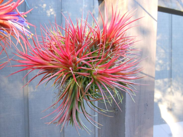 Air Plant // Variety Ionantha Balls Unique Natural Gifts Gifts Under 20  Gifts For Her