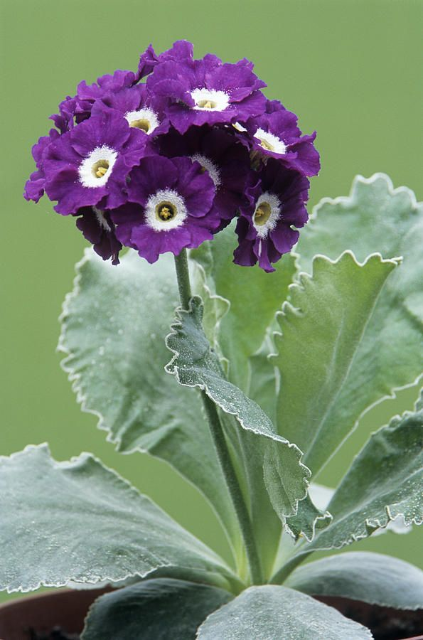 Auricula 'Purple Promise'