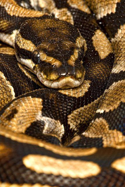 Ball Python (Python regius)