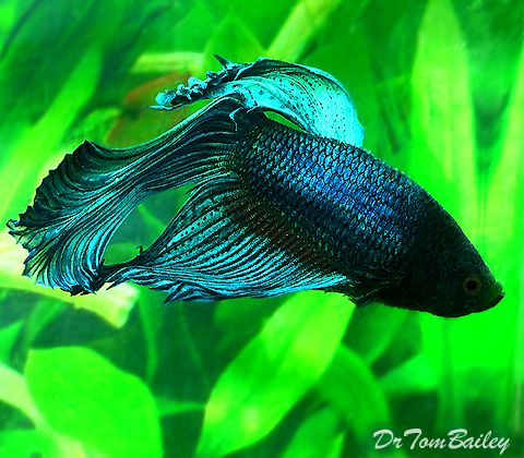 half moon fighter fish wallpaper
