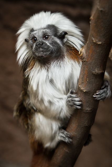 Cotton-Top Tamarin, one of the world's smallest monkeys, native to Colombia, listed as Threatened, due to massive habitat destruction in its traditional range