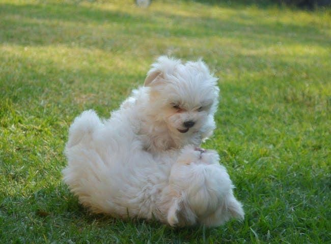 Cutest Maltese Pictures List Of Cute Photos Of Maltese Dogs