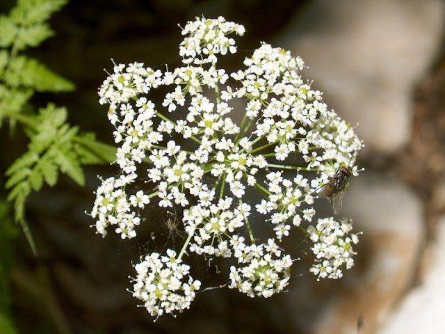 Cerfoglio: un fiore in cucina http://www.foodconfidential.it/cerfoglio-un-fiore-in-cucina/