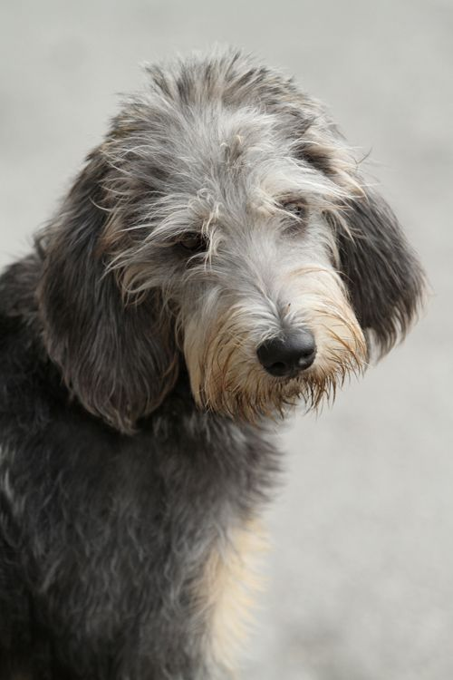 Griffon Nivernais... Bouvier's are crossed with the Griffon and another dog that I have to do research to find out!!!!