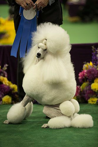 28 Westminster Dogs Who Did The Darn Thing Last Night #refinery29  http://www.refinery29.com/2014/02/62373/westminster-dog-show-pictures#slide22  Oh you fancy, huh?