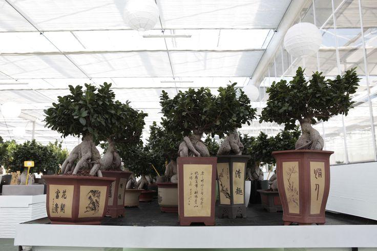 Bonsai Ginseng preserved with design pot.