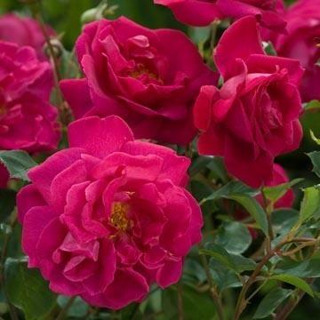 Tam o´Shanter är verkligen annorlunda och går inte riktigt in i någon av de tidigare grupperna - men det spelar ingen roll! Blommorna är egentligen typiska för de Engelska rosorna i den gamla rosgruppen.