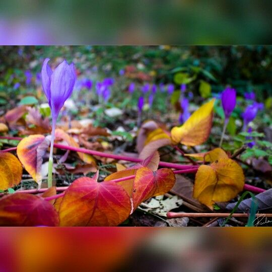 Autumn shot from Romania, Alba Iulia. A piece of nature, a field full of crocus and colorful leaves. Teenager girl photographer @ionpaulaelena