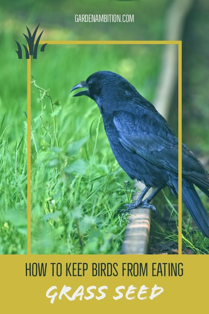 How To Protect Your Grass Seeds From Birds In 2 Fail Safe Ways Grass Seed Seeding Lawn Birds