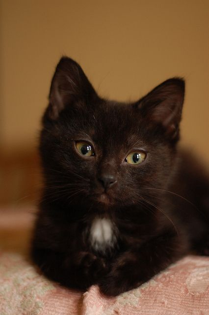 While living in California, I had a kitten named Cinder, who looked just like this!  Cinder was an abandoned kitten who had already contracted feline leukemia by the time we found her.  We got to enjoy her for a few short months before her time on earth was gone, though!