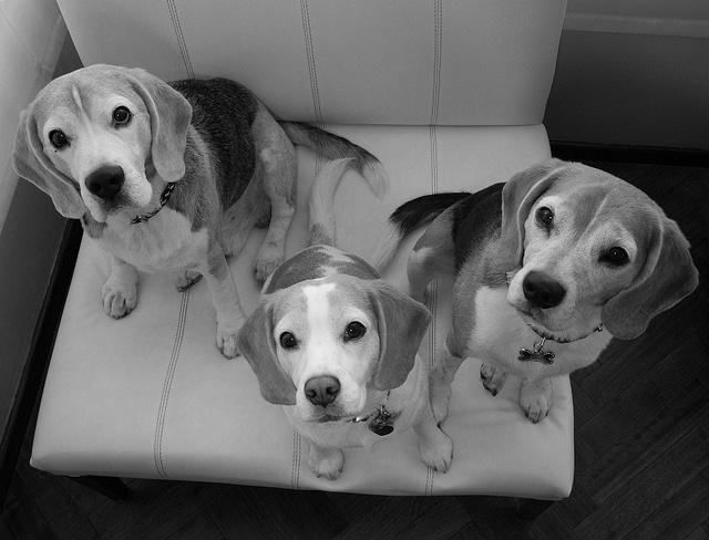 my beagles, via Flickr.