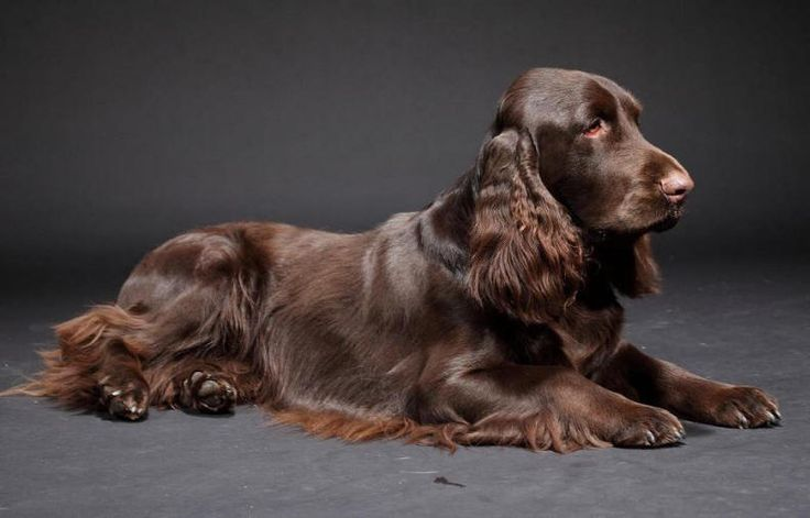 Field Spaniel #Spaniels #Dogs #Puppy Handome Fieldy!
