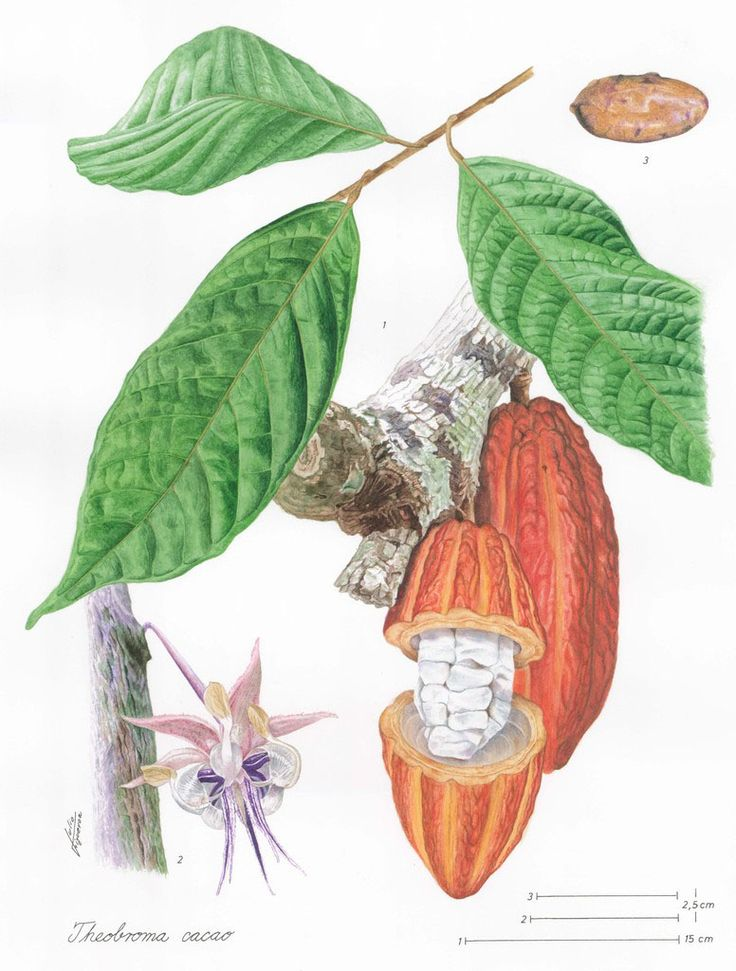 78 best cacao sustainability images on pinterest cocoa theobroma cacao also cacao tree and cocoa tree is a small 48 sciox Image collections