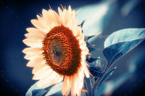 Sunflower, Sunflower with Indigo Background. Shallow Depth of Field, art photo by cinema4design