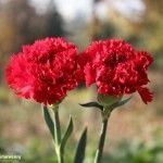 Bunga Anyelir Merah Kembar