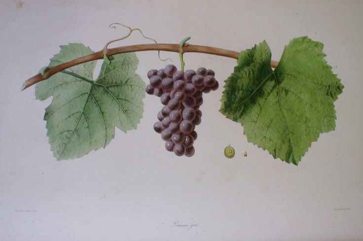 Pineau gris from 'Ampélographie française', by Victor Rendu. Paris, 1857. Ampelographies describe and often illustrate grape varieties. The hand-coloured lithographs of Eugene Grobon make this book possibly the most prized of the great ampelographies of the nineteenth and early twentieth centuries.