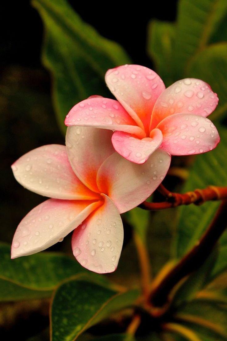 25+ Best Ideas About Plumeria Flowers On Pinterest