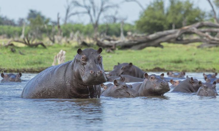 A hippo's sweat acts as a sunblock, moisturizer and an anti-biotic Hippos secrete a reddish oily fluid – sometimes called pink sweat – that contains substances which act as water repellent, sunblock, skin moisturizer as well as an antibiotic!