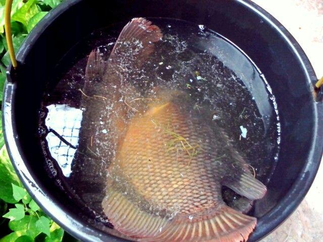 Ikan tertua