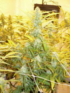 The best seeds #http://www.spliffseeds.nl/silver-line/blue-berry-seeds.html