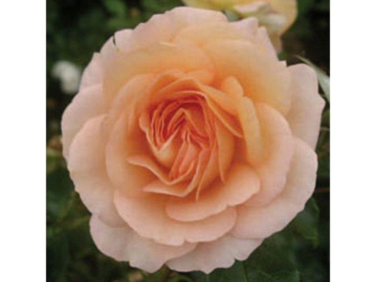 Rosa floribunda 'New Beginnings' Bush Rose