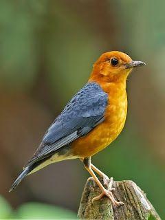 Burung Anis Merah  #burung #bird #anismerah #pets #livestock #animals #hewan #photography