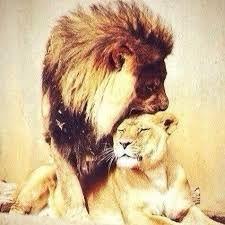 Картинки по запросу лев и львица нежность