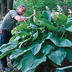 3 Year Old Hosta Empresswow I Love Hostas This One Is So
