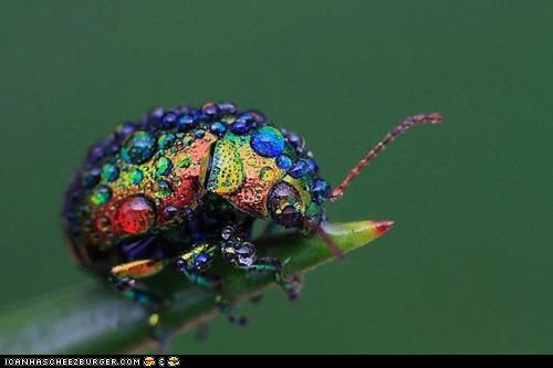 Even bugs can be beautiful: Rainbows Leaf, Leaf Beetles, Beautiful Bugs, Color, Funny Pictures, Dew Drop,  Chrysomelid, Dewdrop, Water Droplets