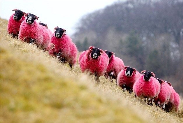 """Freshly dyed sheep run in view of the highway near Bathgate, Scotland. The sheep farmer has been dying his sheep with non-toxic dye since 2007 to entertain passing motorists"