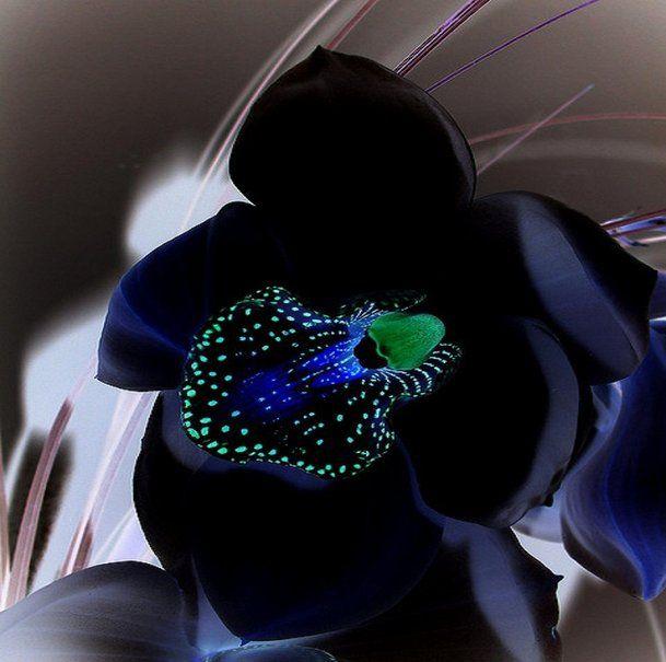 orquídea negra Vetor