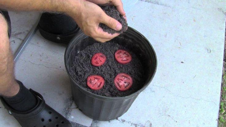 Самый простой способ выращивания помидоров, или почему не стоит выбрасывать порченые томаты