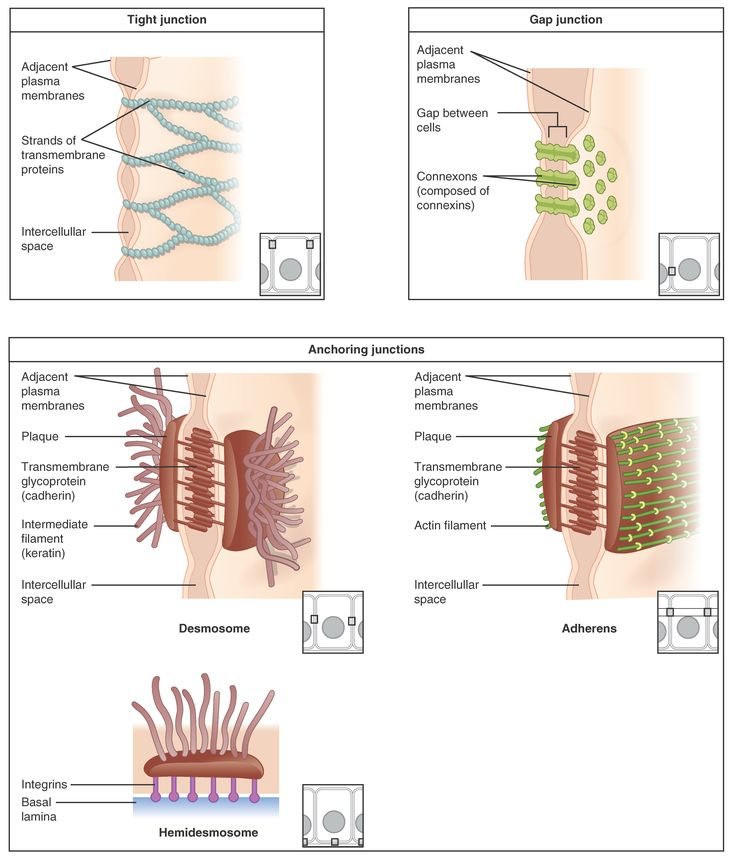 402_Types_of_Cell_Junctions_new.jpg 4,597×5,366 pixels