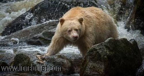 Hi fellow Age of Mythology fan! You can download alaskan bear unit mod for free from LoneBullet - http://www.lonebullet.com/mods/download-alaskan-bear-unit-age-of-mythology-mod-free-2100.htm which has links for resume support so you can download on slow internet like me