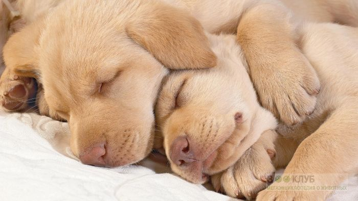 Спящие щенки голден ретривера, фото фотография картинка обои