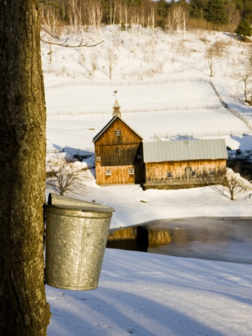Sap buckets on Maple Trees, Pomfret, Vermont, USA Photographic Print by Jerry & Marcy Monkman