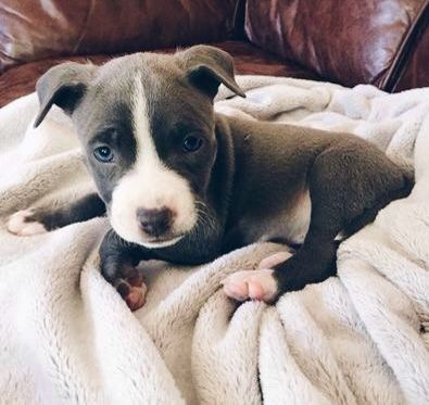 Gray and white blue nose american pit bull puppy @dawnbeer2018