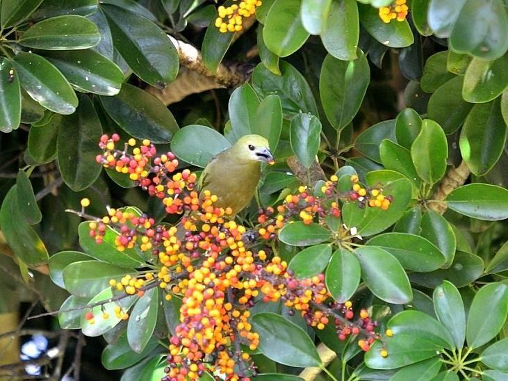 Visitante na Pousada dos Chás em Jurerê - Floripa - Brasil (Pássaro Sanhaçu do Coqueiro)