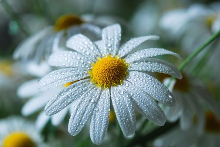 Daisy Photo by Liz Andersen -- National Geographic Your Shot