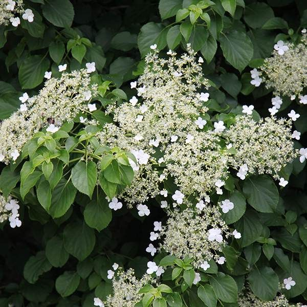 25 best ideas about climbing hydrangea on pinterest. Black Bedroom Furniture Sets. Home Design Ideas