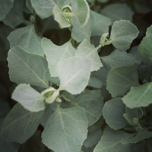 Love Lamb? Treat your tastebuds by adding a saltbush crust to your next #australianlamb dish!  Saltbush is a protein-rich native herb with a subtle saltiness and unique flavour.  Dried Saltbush Flakes available in store now, link in profile  #nativeherbs #nativefood #australianfood #outbackpride #recipeideas #saltbush grown by @outbackpridefresh in #southaustralia