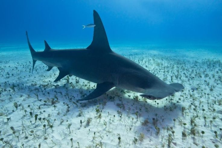 Facts About the Great Hammerhead Shark