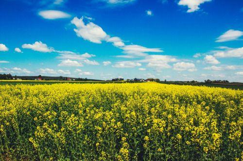 Daj nam oddechu pełną garść Na chwilę Boże zwolnij czas Niech choćby czasem maj nam trwa Tyle co stycznie trzy lub dwa #poland #polska #łąka #polskawieś #country #travel #spring #wiosna #rzepak #niebo #bluesky #beautiful #landscape #yellow