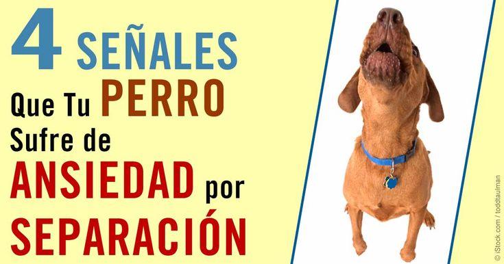 Ladrar o llorar, babeo excesivo, accidentes en la casa y comportamiento destructivo son signos de ansiedad por separación en tu perro. https://mascotas.mercola.com/sitios/mascotas/archivo/2015/08/10/ansiedad-por-separacion-canina.aspx?utm_source=espanl&utm_medium=email&utm_content=mascotassaludables&utm_campaign=20171231&et_cid=DM176763&et_rid=167256402