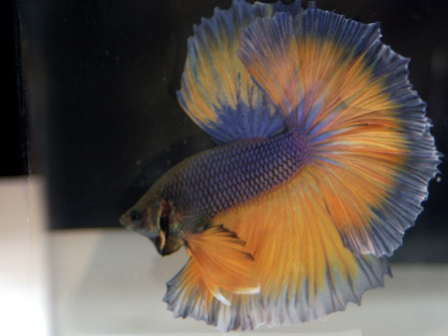 41 best images about betta on pinterest mars green lace for Betta fish at petsmart