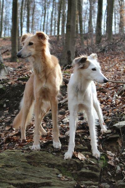 golden-langhaar-whippet - Frühjahr 2014 | Sighthounds ...
