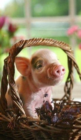 Cute miniature pet pig