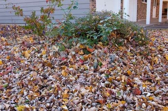 Les feuilles mortes : du plomb qui va se transformer en or !